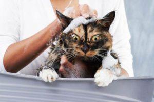 Почему-кошки-боятся-воды