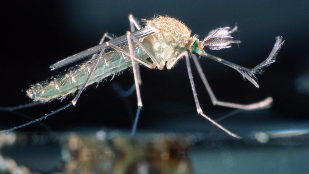 Почему-пищат-комары