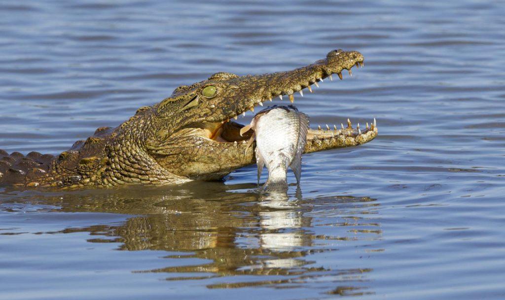 Почему-говорят-плачет-крокодиловыми-слезами